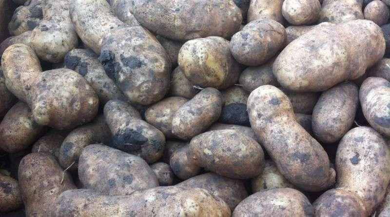 сорт картофеля инноватор характеристика