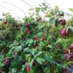 Как правило выращивать малину в саду