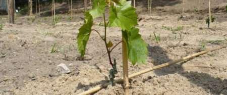 посадка винограда и уход фото
