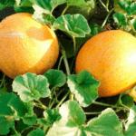 Важные особенности выращивания дыни