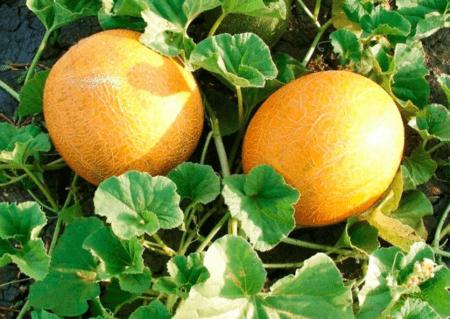 дыни выращивание и уход в открытом грунте