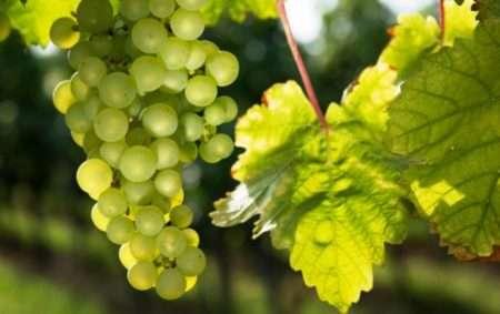 посадка винограда по лунному календарю 2020