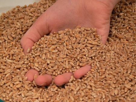 Купить пшеницу оптом от производителя