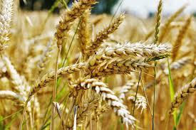 Какая цена на пшеницу в РФ?