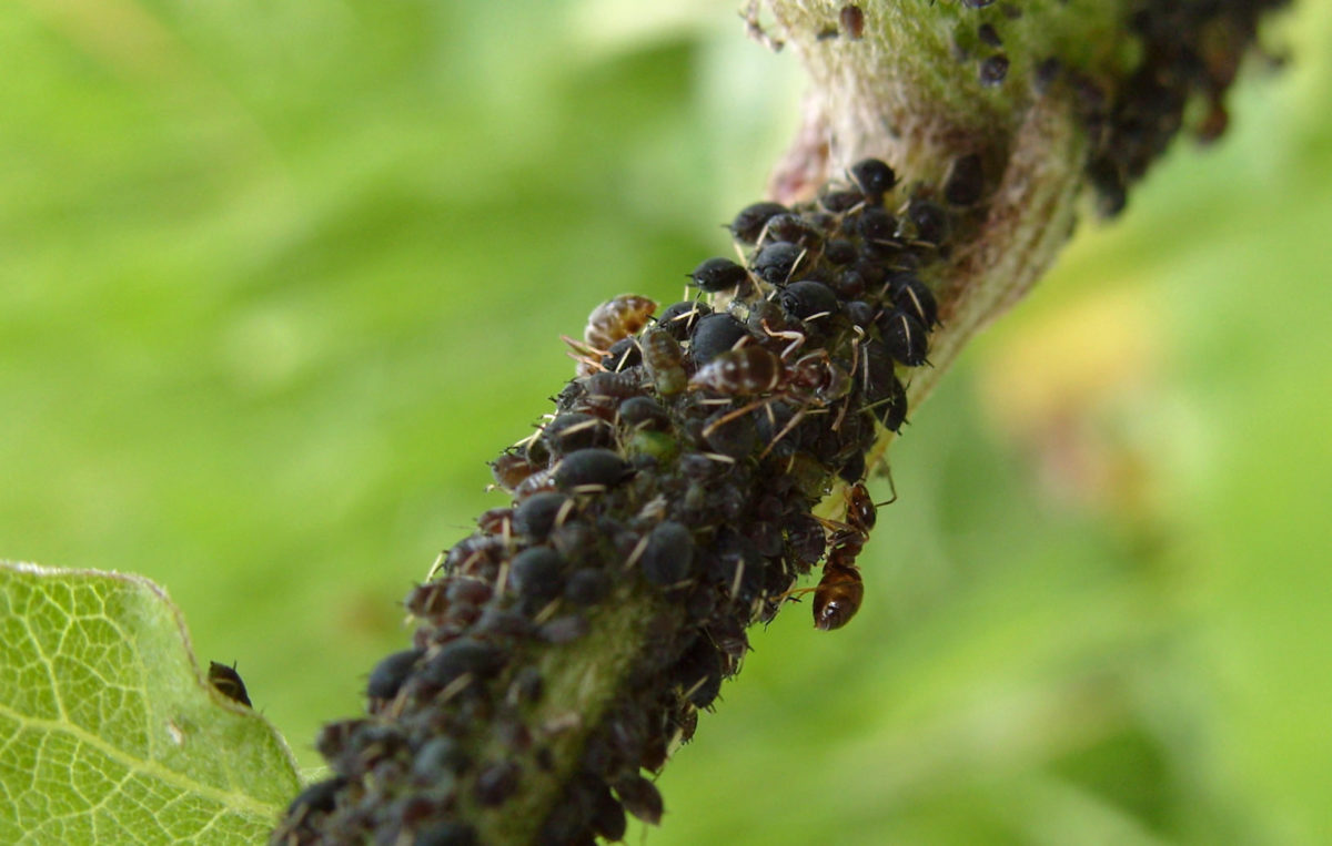 настой луковой шелухи применение на огороде