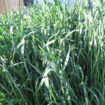 Овес как сидерат: характеристики, ценность, когда сеять. Рекомендации садоводов