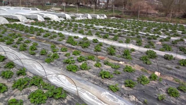 Агроволокно – практичность и удобство применения