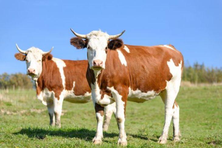 Выращивание крупнорогатого скота – верное и практичное решение, при обращении к профессионалам