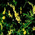 Донник как сидерат: польза растения и его биологические особенности. Советы садоводов
