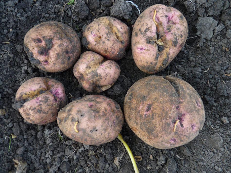 Сидераты от проволочника для картофеля: какие сажать, как помогают