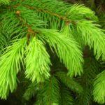 Удобрения для хвойных деревьев