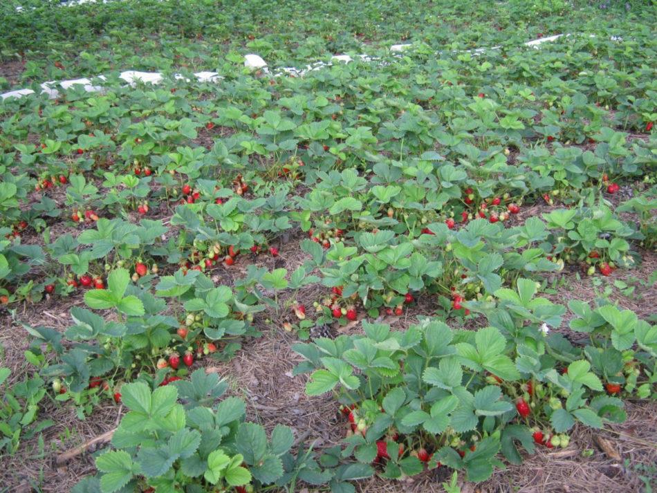 Чем подкормить клубнику в августе после обрезки и сбора урожая. Органика или минеральные смеси