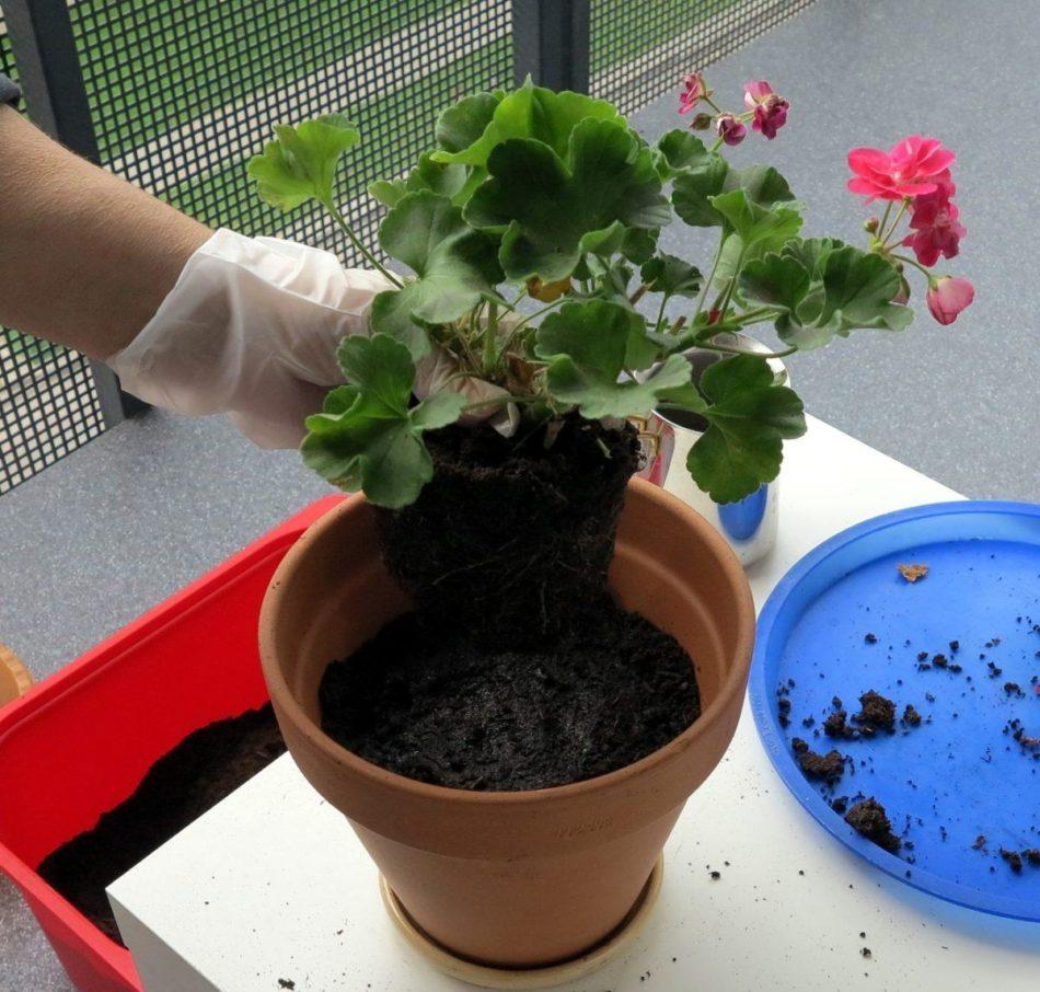 Какие удобрения необходимы при подкормке герани для обильного цветения