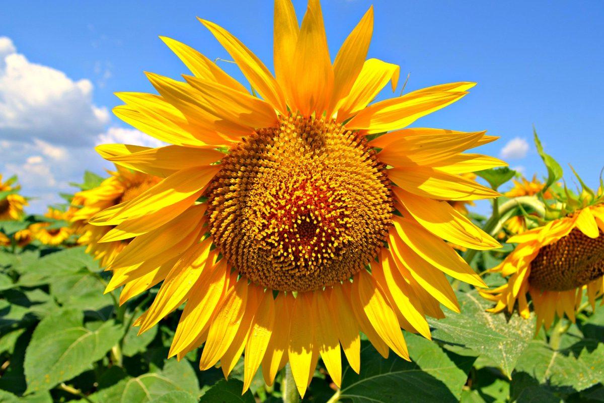 чем подкормить подсолнух перед цветением