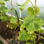 Листья у огурцов светло-зеленые: чем подкормить. Недостаток азота или микроэлементов