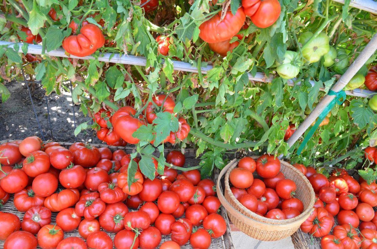 борофоска применение для томатов