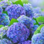 Чем подкормить гортензию в августе и осенью в зависимости от вида