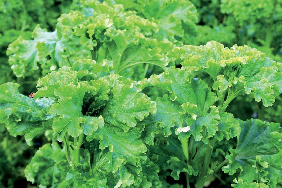 сидераты и их применение сад и огород