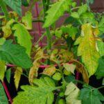 Аммиачная селитра: состав, свойства и применение на огороде. Польза для огурцов