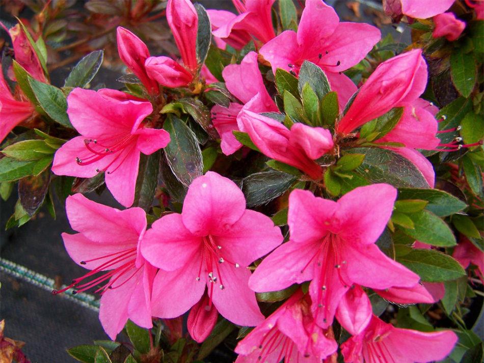 Цветок азалия – особенности ухода в домашних условиях. Полив, освещение, требования к почве и горшку, пересадка и размножение