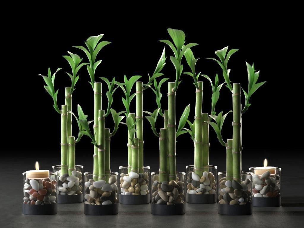 Бамбук – комнатное растение: виды, подходящие для выращивания. Драцена сандера в интерьере — способы декоративного плетения
