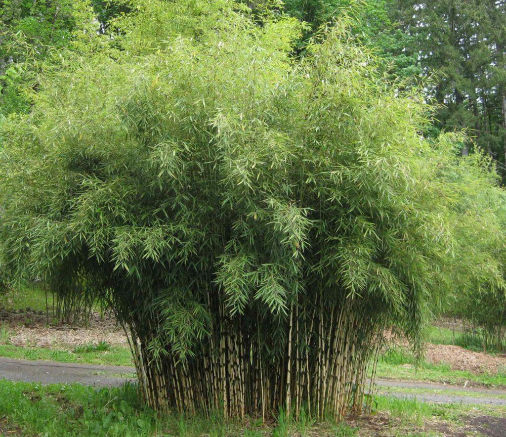 бамбук комнатный
