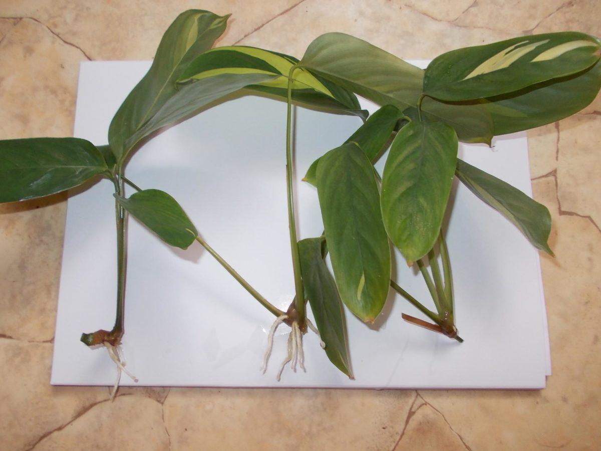 Калатея розеопикта