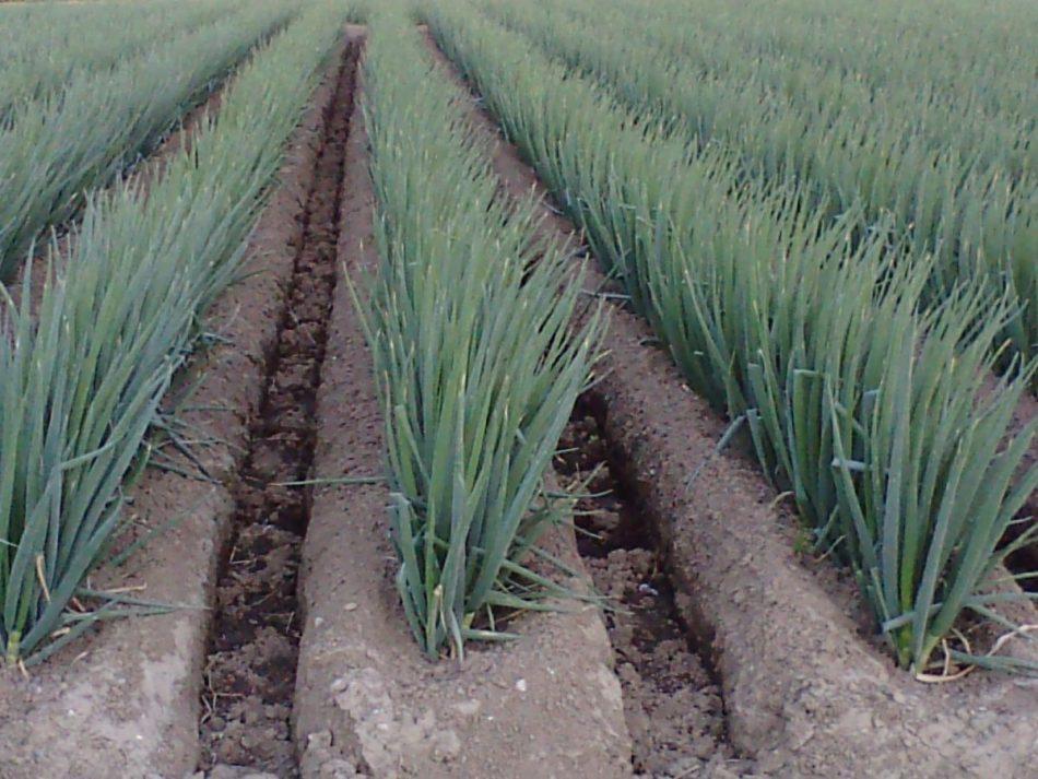 Чем подкормить лук, чтобы был крупный: виды удобрений, полезные рекомендации