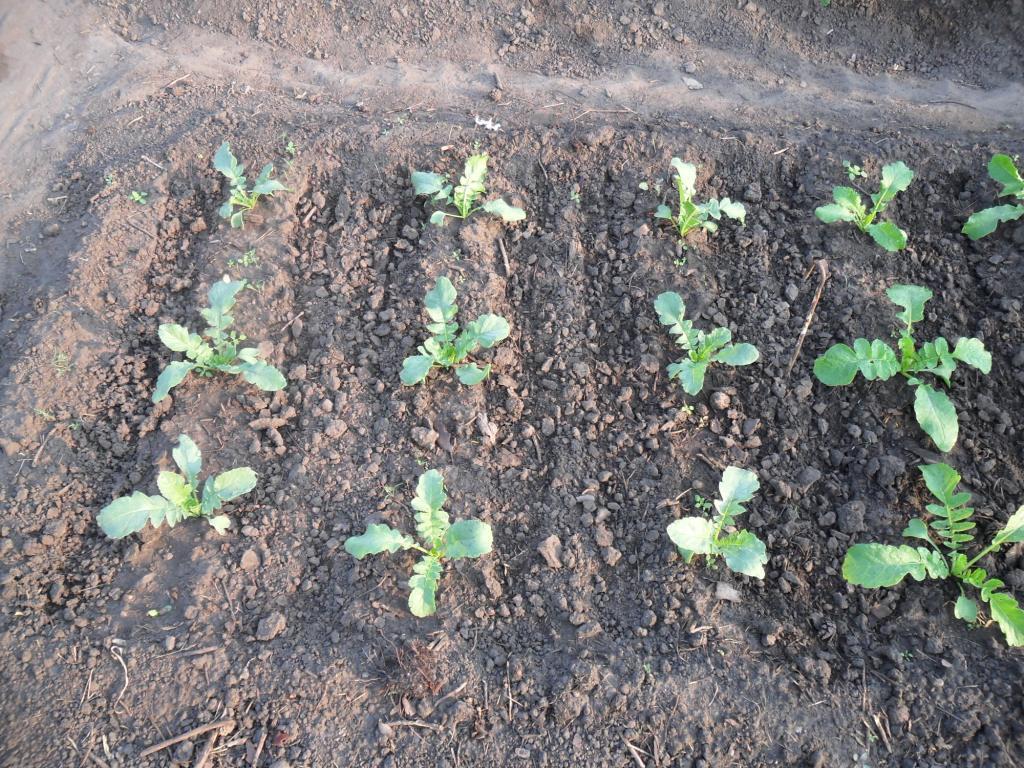 Чем подкормить дайкон в августе для роста плодов. Выращивание и правильный уход за овощем
