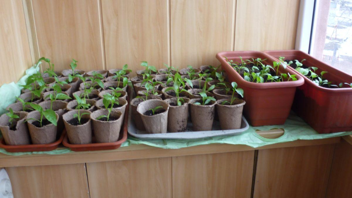 эустома посев семян на рассаду хитрости