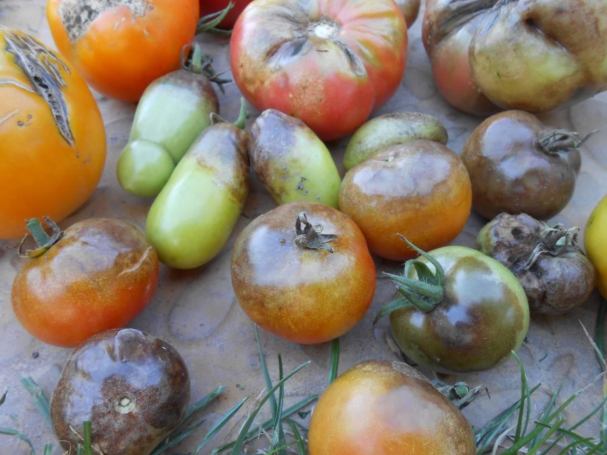 Куриный помет как удобрение для помидор и огурцов – в чем польза, как правильно использовать