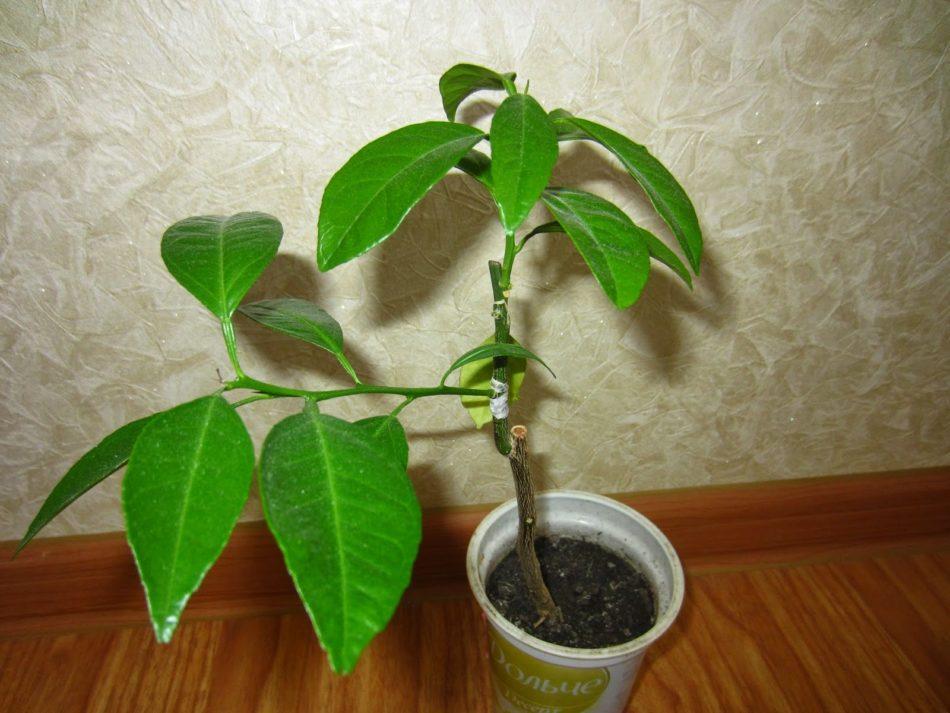 Чем подкормить лимон в домашних условиях: виды удобрений, рекомендации