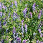 Вика сидерат – особенности растения, способы применения в качестве удобрения, сроки посева