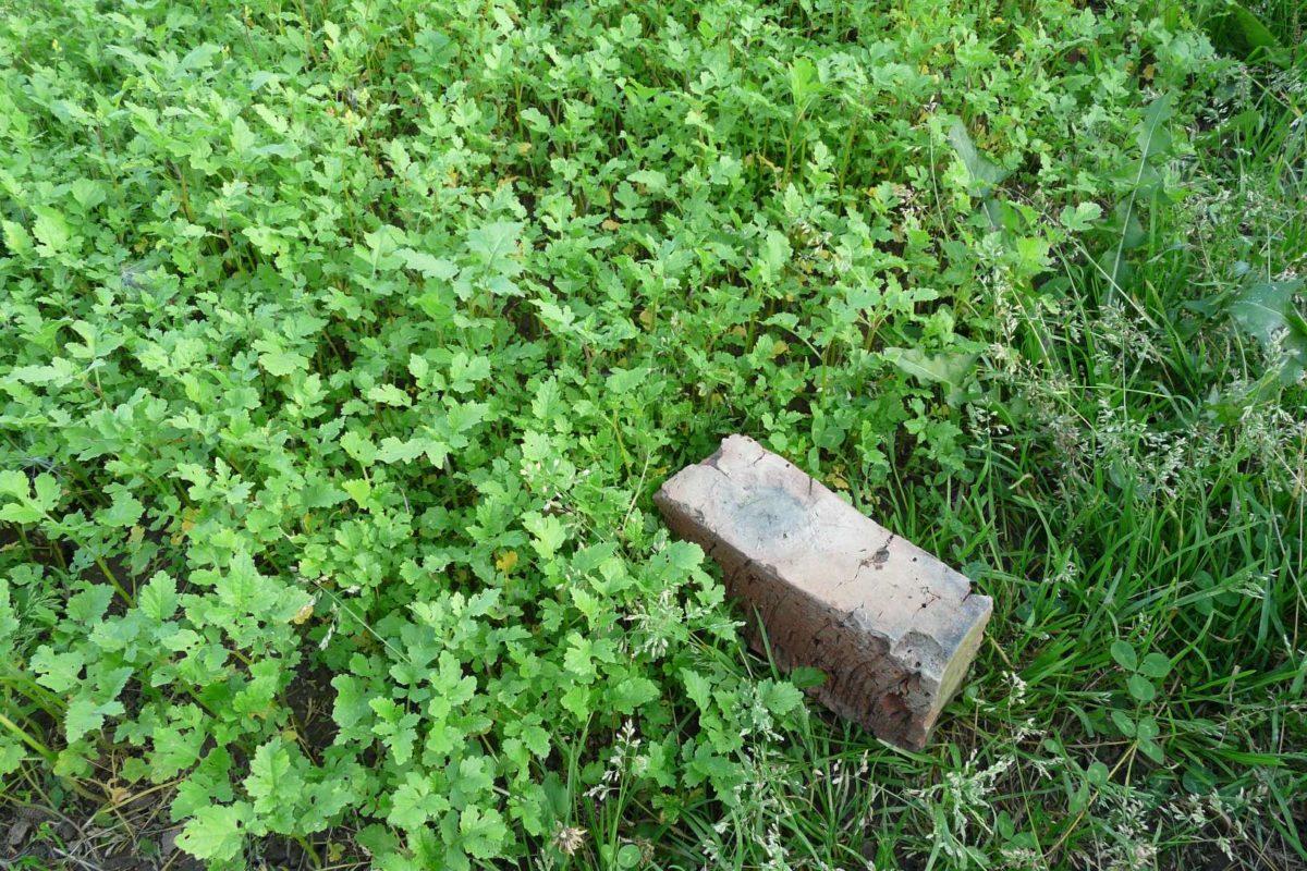 Горчица белая – польза для растений и почвы. Возможные сроки посева сидерата, способы переработки. Особенности выращивания
