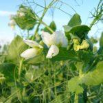 Горох как сидерат: применение на огороде, в компосте. Когда сеять