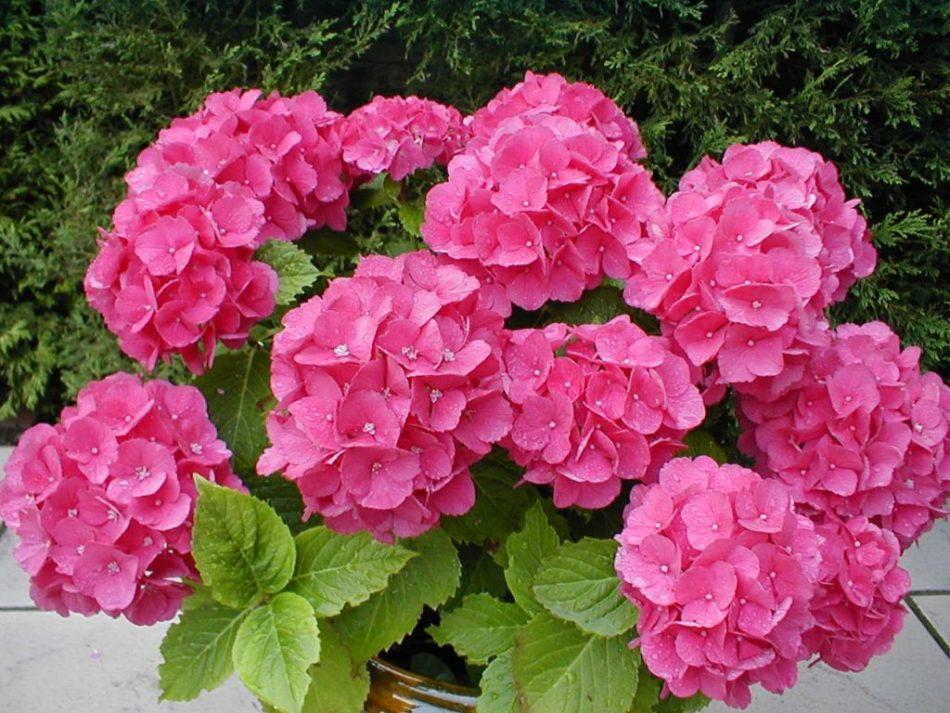 Гортензия комнатная – отличия от садовой и уход. Как добиться регулярного цветения. Сорта для выращивания в комнате