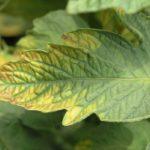 Хлорид калия – удобрение для плодоношения, состав и применение на огороде
