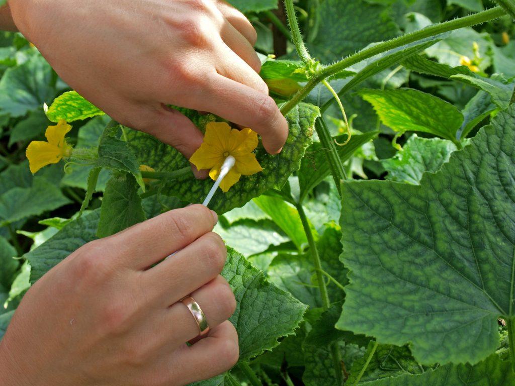 чем подкормить огурцы в августе в открытом грунте