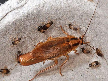 Уничтожение тараканов: причины появления насекомых и методы борьбы