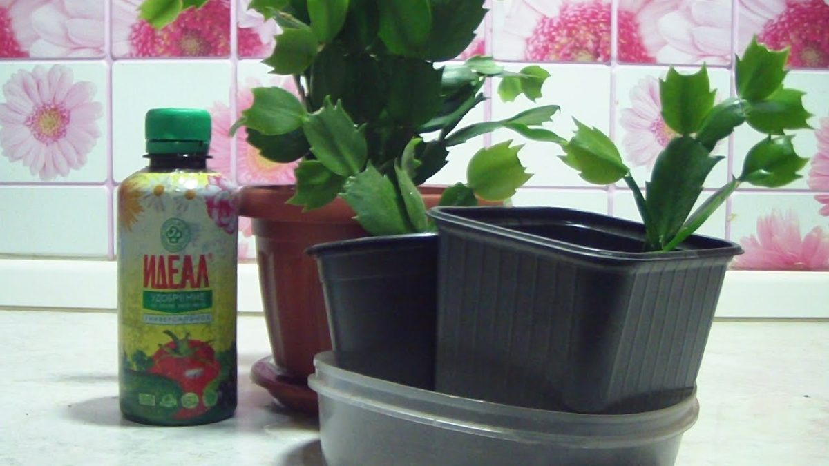 Как поливать декабрист и другие особенности ухода за растением – пересадка, размножение, болезни
