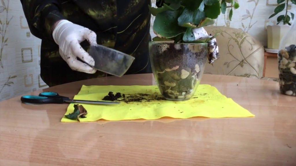 Каланхоэ – уход в домашних условиях. Полезные свойства – для чего выращивать. Как стимулировать цветение