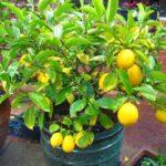 Лимонное дерево – лучшие сорта для комнатного выращивания. Принципы ухода за цитрусовыми, прививки, пересадка, размножение