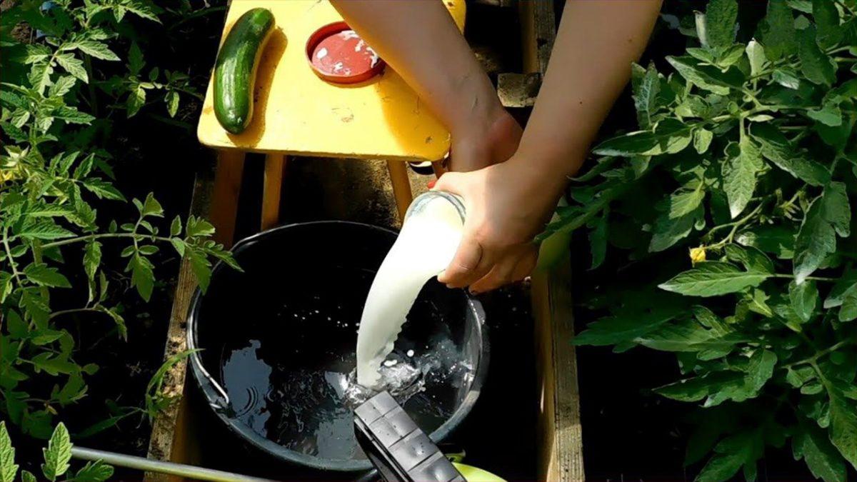 подкормка растений сывороткой молочной