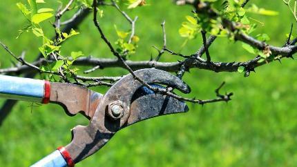 Обрезка плодовых деревьев: техники и виды