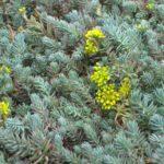 Очиток едкий – описание цветка, его лекарственных свойств. Способы выращивания в открытом грунте. Разновидности и особенности