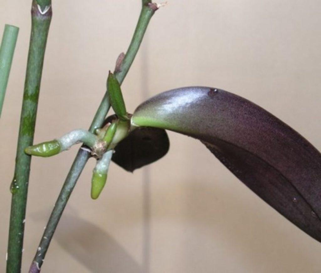 Как пересадить орхидею – способы в зависимости от вида. Какие растения пересаживают в мох, какие в грунт