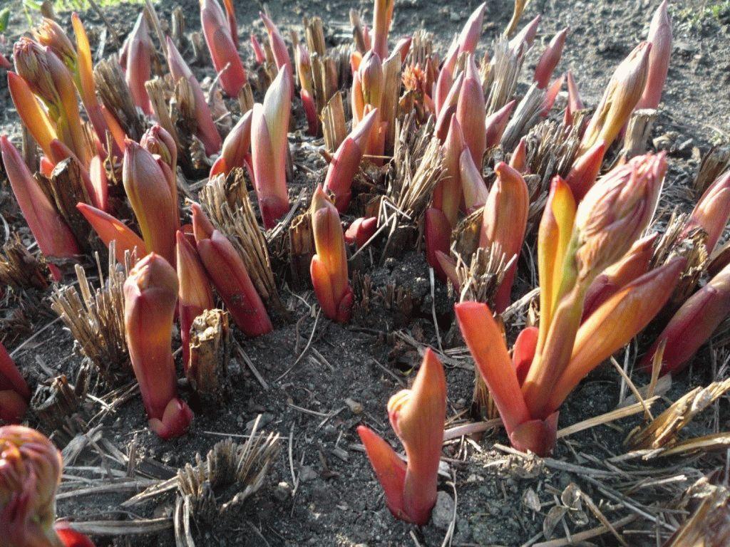 чем подкормить пионы осенью чтобы были крупные цветы