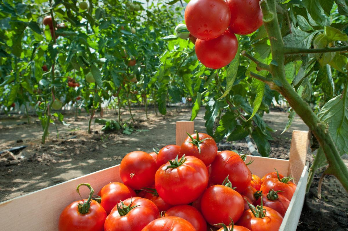 помидоры подкормка и уход в открытом грунте