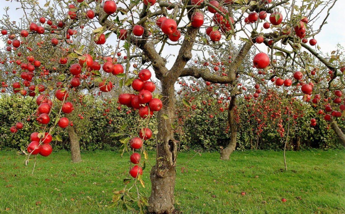 сульфат аммония применение в сельском хозяйстве