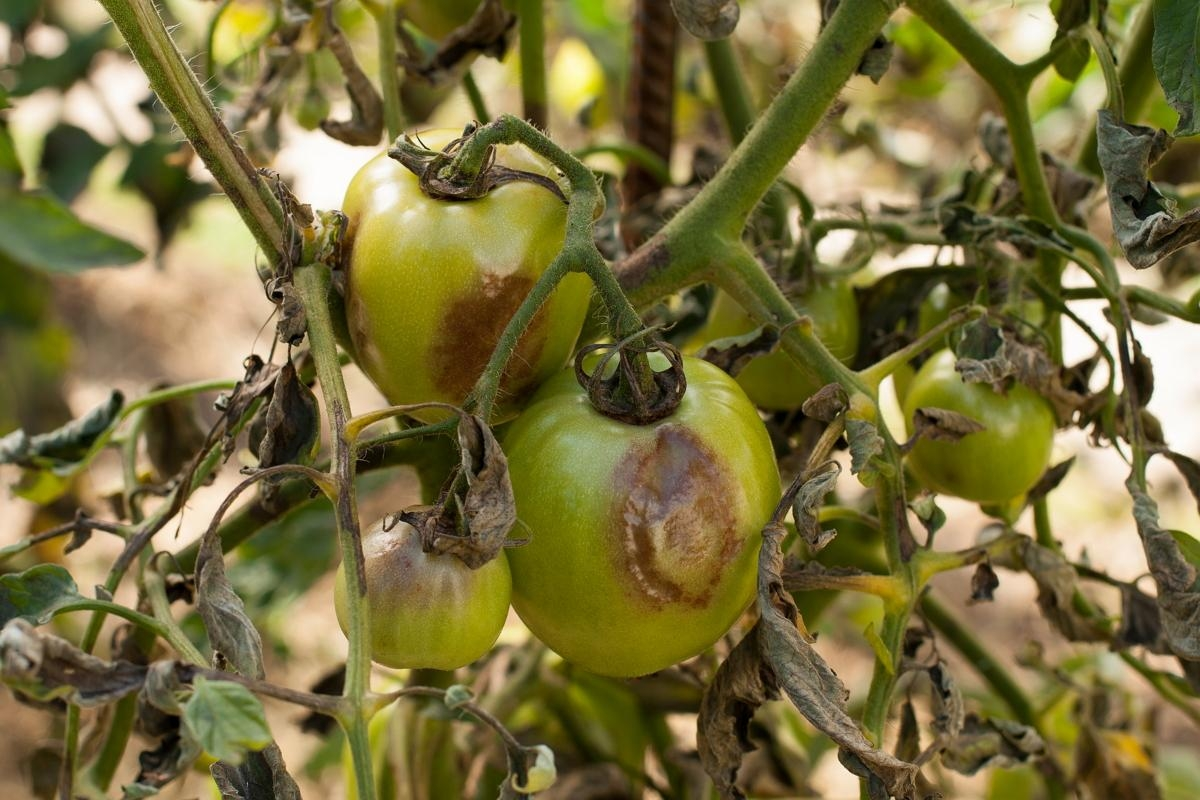 помидорные листья как удобрение